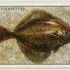 Flounder or fluke (Family: Pleuronectidae).