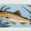 Rainbow trout.