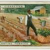 Transplanting tobacco.
