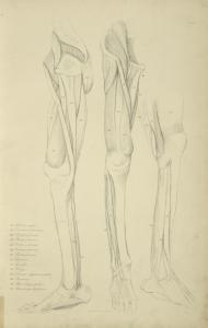 [Three views of musculature of the leg.]