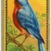 The Bluebird.