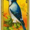 The Blue Jay.