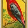 The Scarlet Tanger.