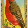 The Vermillion Flycatcher.