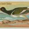 American Oyster Catcher.