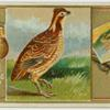 American Partridge.