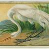 American White Egret.