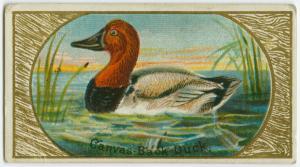 Canvas Back Duck. Digital ID: 1589129. New York Public Library