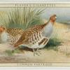 Common Partridge.