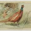 Common Pheasant.