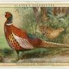 Mongolian Pheasant.
