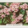 Apple blossom.