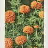 African marigolds.