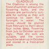 Gladiolus.