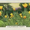 Californian poppy.
