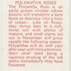 Polyantha roses.