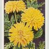 Annual chrysanthemum.