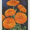 Calendula (Marigold).