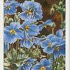 Meconopsis (Blue Poppy from Tibet).