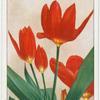 Tulipa fosteriana.