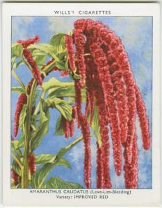 Amaranthus caudatus.