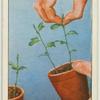 """""""Stopping"""" sweet pea seedlings."""