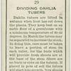 Dividing dahlia tubers.