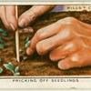 Pricking off seedlings.