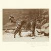Jaguar, New York Zoological Park (Bronx Zoo), 1883.]