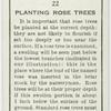 Planting rose trees.