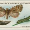 Cabbage moth, larva and pupa.
