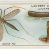 Crane-fly, larva and pupa.
