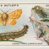 Lackey moth, larva and next.