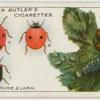 Ladybirds, pupae and larva.
