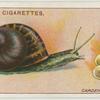 Garden snail and eggs.