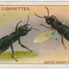 Devil's coach-horse beetle.