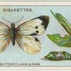 Large white butterfly, larva and pupa.