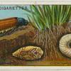 Cockchafer, larva and pupa.