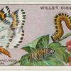 Magpie (currant) moth, larva and pupa.