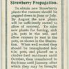 Strawberry propagation.