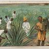 Gathering the sisal hemp in East Africa.