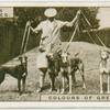 Colours of greyhounds.