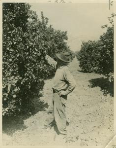 Orange grove near Centerville, Fresno County, California