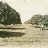 A fig orchard in the San Joaquin Valley California