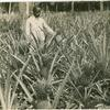 Pineapple plantation near Cellsba