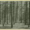 White pine forest