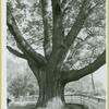 Lloyd Neck, black oak
