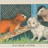 Guinea-pigs.