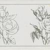 Study of a rose.