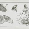 Studies of sparrows.